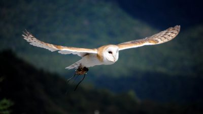 Image: owl flying