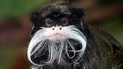 Image: Portrait of a Tamarin