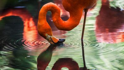 Image: A flamingo leaning over to get a drink