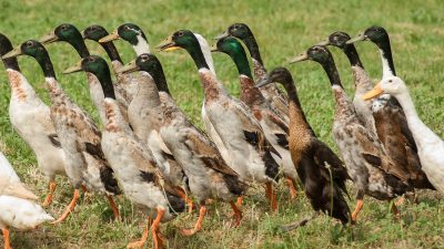 Image: Indian Runner Ducks