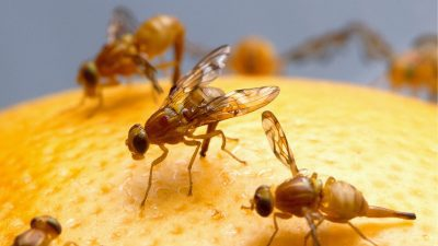 Image: 5 fruit flies on fruit