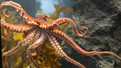 Image: Octopus showing off their tentacles