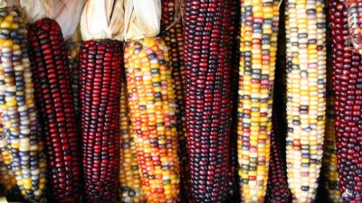 Image: colorful corn, an ingredient in traditional food