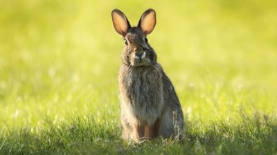 Image: Rabbit standing up in a lawn