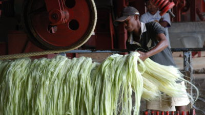 Image: farmer working with sisal plant