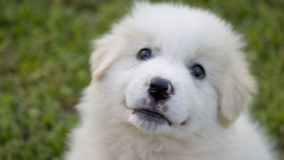 Image: Maremma sheepdog puppy