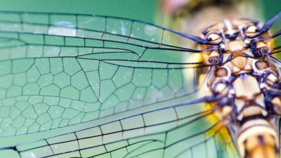 Dragonfly wing closeup