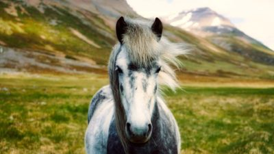 Image: A horse from the wilds of Iceland