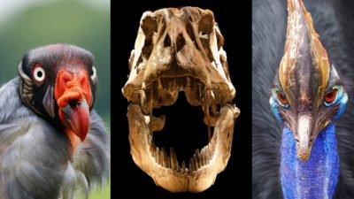 Image: Picture of birds compared to a T-Rex skull