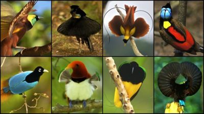 Image: Collage of many birds-of-paradise species