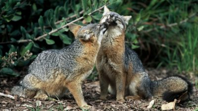 Image: Two Island Foxes