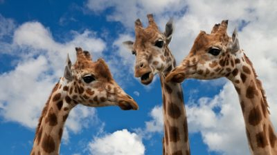 Image: Three giraffes